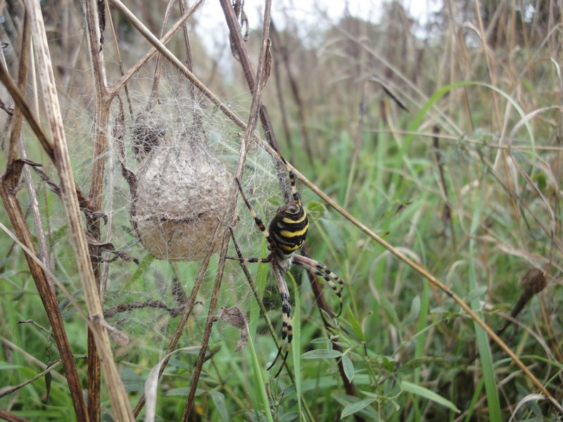 Argiope bruennichi, the wasp spider