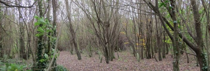 Haylands Wood