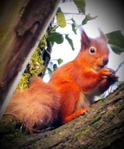 Squirrel at Golden Hill Country Park